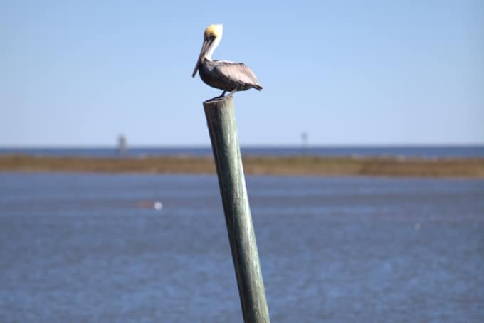 Pelican perched on a wooden pole